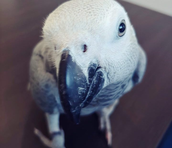 Rico - papuga żako