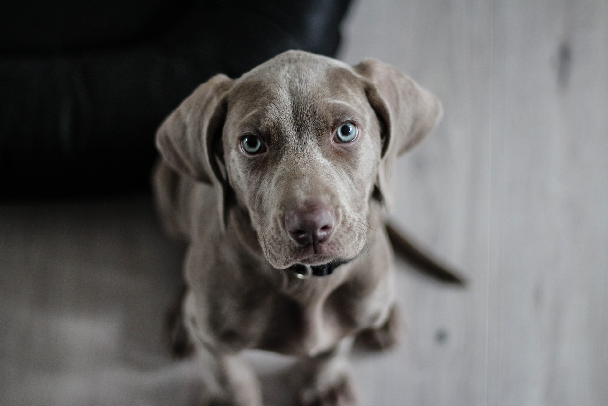 pies bez smyczy